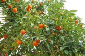 Sell tangerine business in Abkhazia